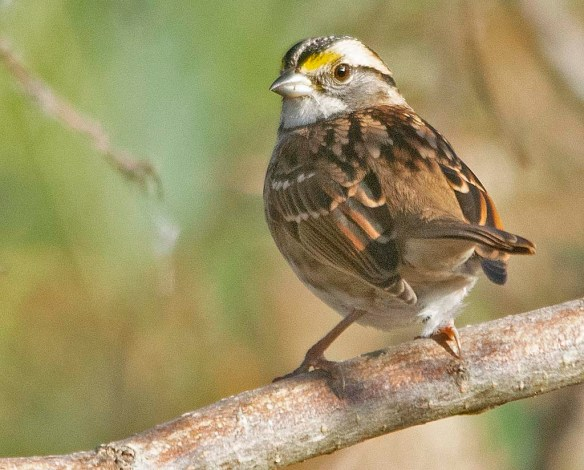 White Throated Sparrow 2019-2