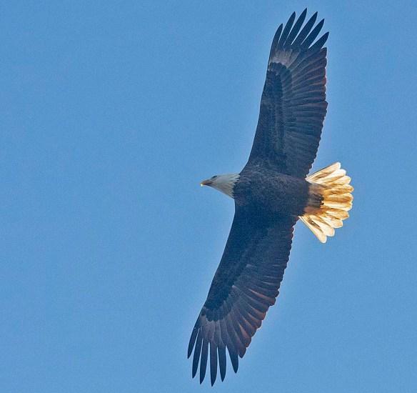 Bald Eagle 2019-20