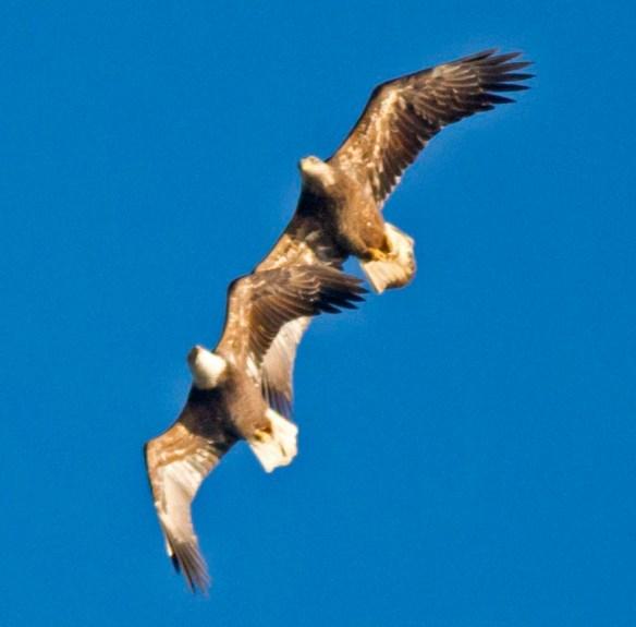Bald Eagle 2019-23