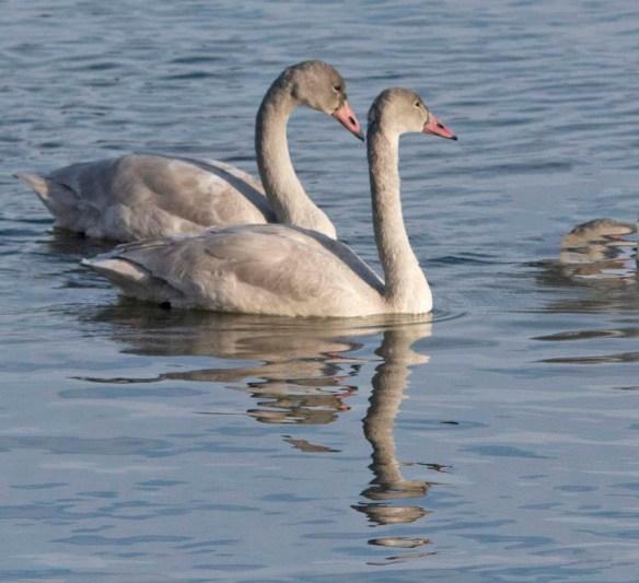 Tundra Swan 2019-34