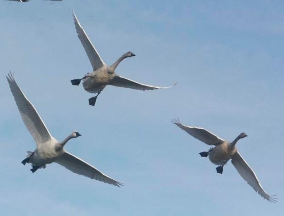 Tundra Swan 2019-36