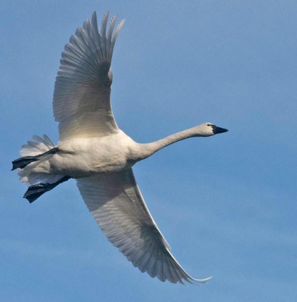 Tundra Swan 2019-37