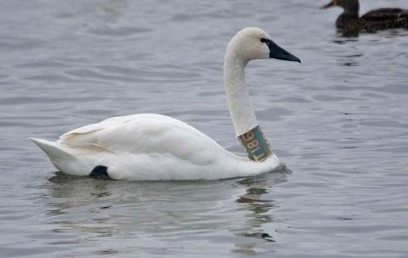 Tundra Swan 2019-39