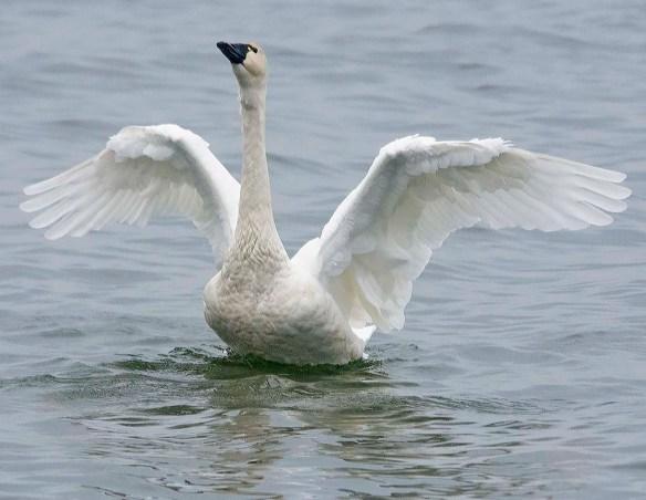 Tundra Swan 2019-41