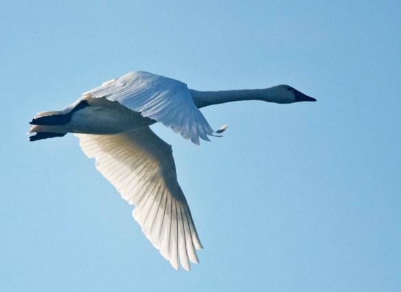 Tundra Swan 2019-43