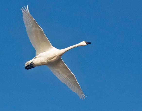 Tundra Swan 2019-44