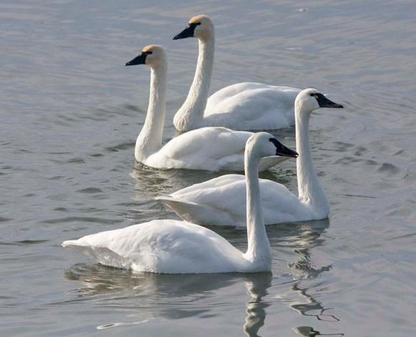 Tundra Swan 2019-45