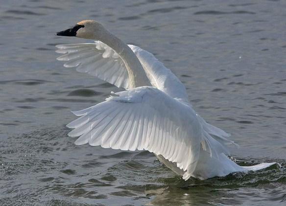 Tundra Swan 2019-49