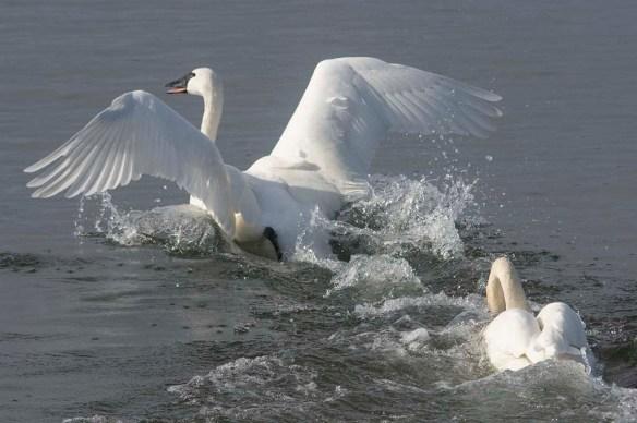 Tundra Swan 2019-53