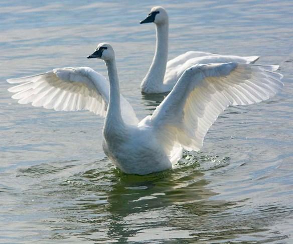 Tundra Swan 2019-54