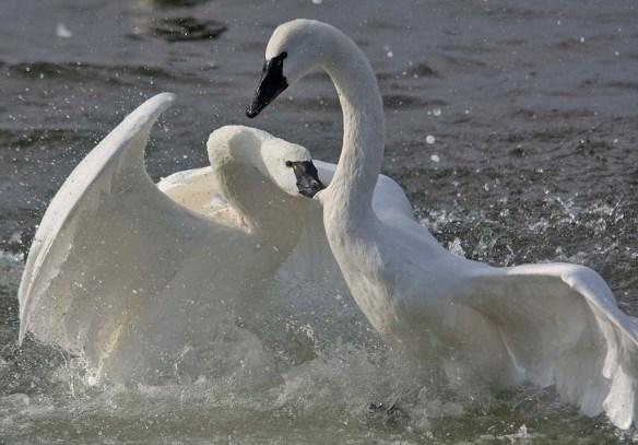 Tundra Swan 2019-55