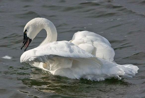 Tundra Swan 2019-57