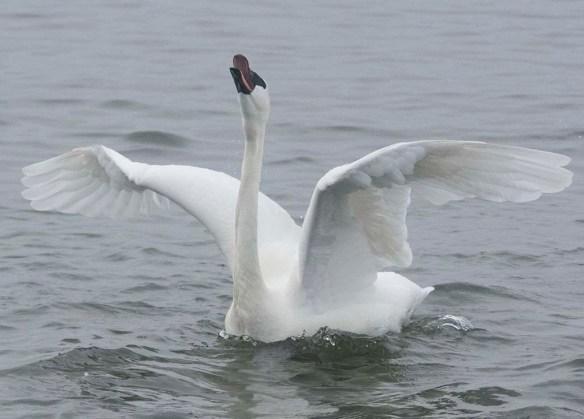 Tundra Swan 2019-78