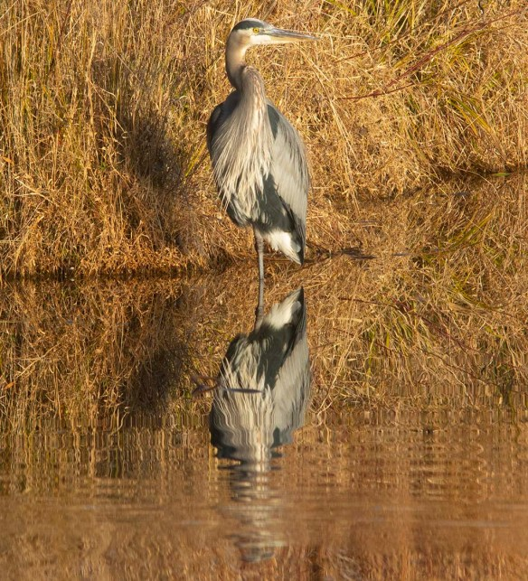 Great Blue Heron 2019-60