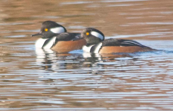 Hooded Merganser 2019-40