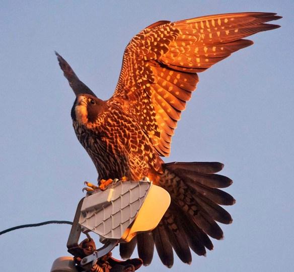 Peregrine Falcon 2019-1