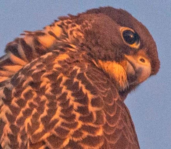 Peregrine Falcon 2019-3