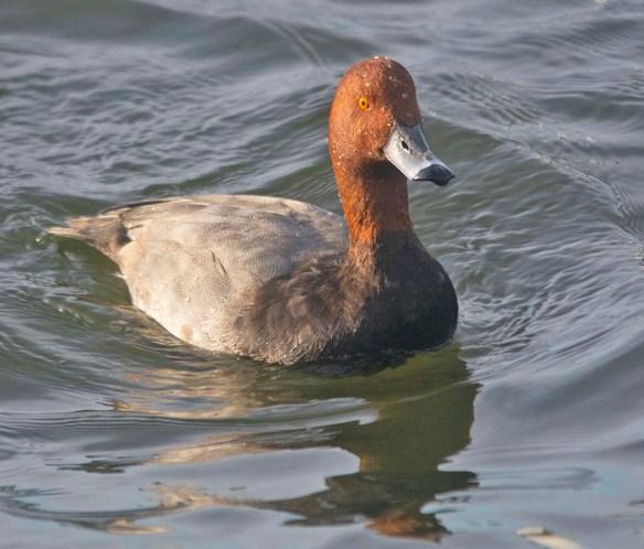 Redhead 2019-29