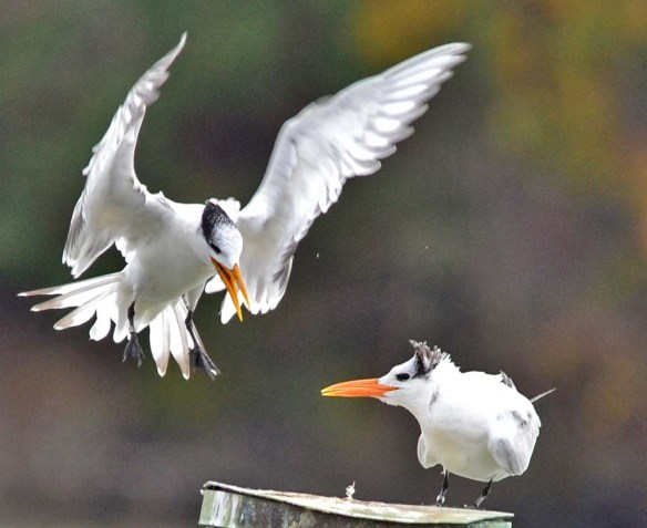 Royal Tern 2019-5
