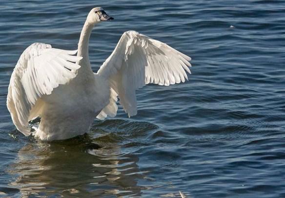 Tundra Swan 2019-100
