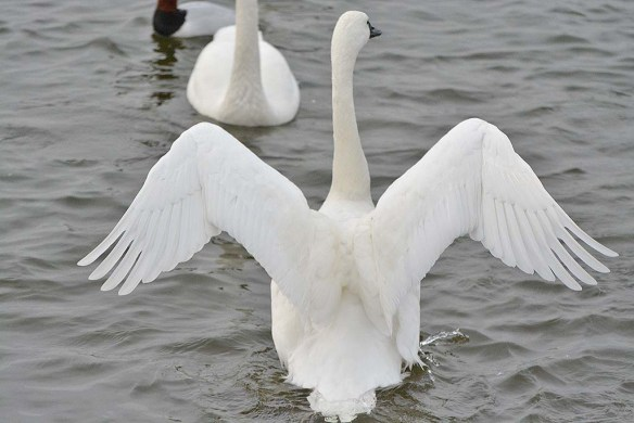 Tundra Swan 2019-110