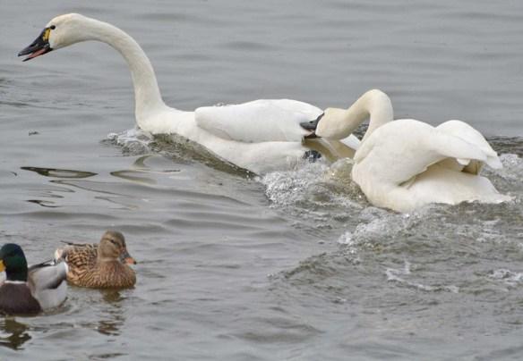 Tundra Swan 2019-115