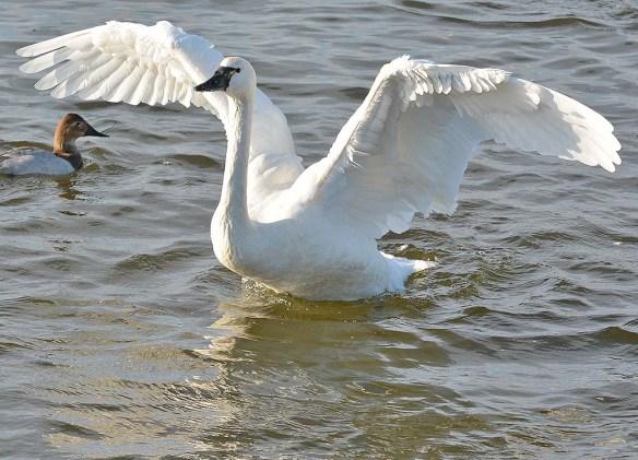 Tundra Swan 2019-117
