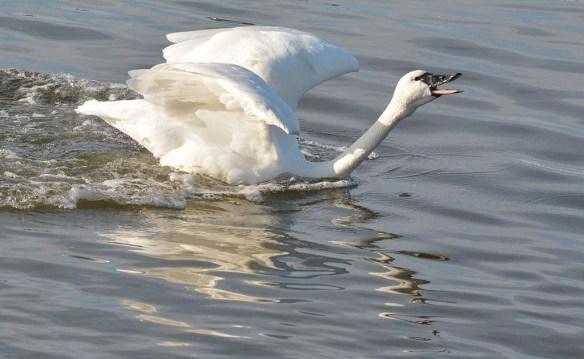 Tundra Swan 2019-120