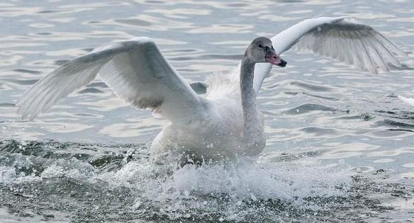 Tundra Swan 2019-123