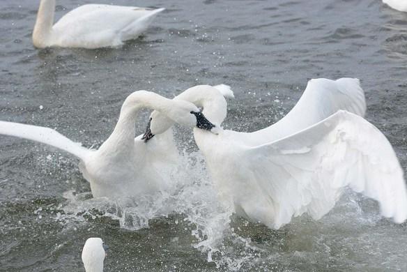 Tundra Swan 2019-125