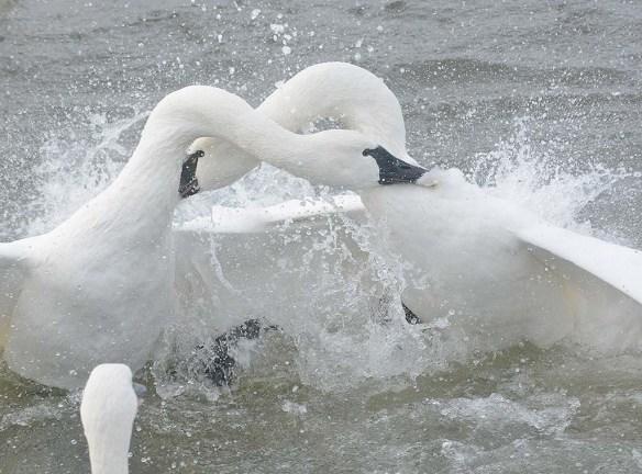 Tundra Swan 2019-126