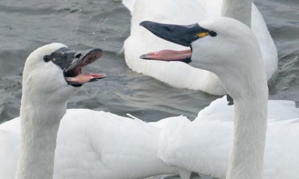 Tundra Swan 2019-127