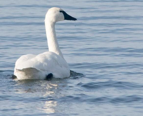 Tundra Swan 2019-84