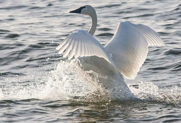 Tundra Swan 2019-86