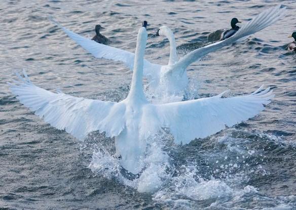 Tundra Swan 2019-89