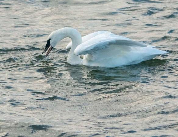 Tundra Swan 2019-91