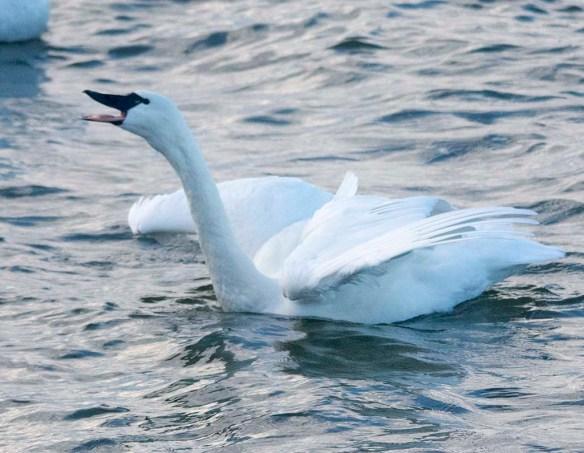 Tundra Swan 2019-92
