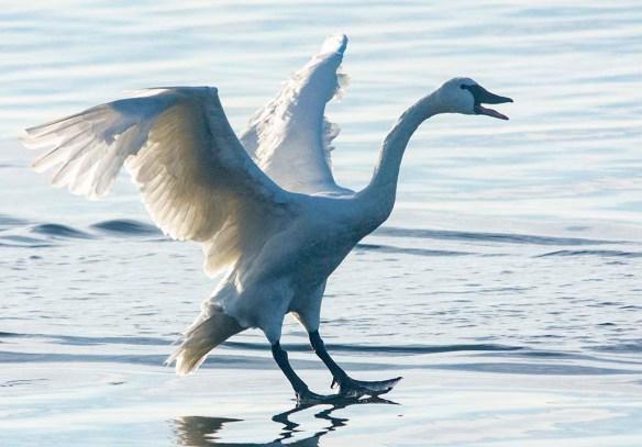 Tundra Swan 2019-96