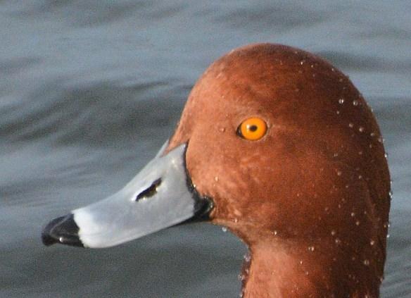 Redhead 2020-4