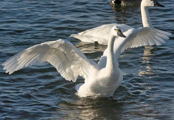 Tundra Swan 2020-1