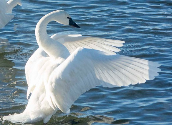 Tundra Swan 2020-4