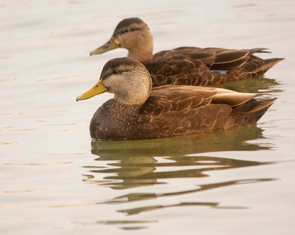 Black Duck 2020-2