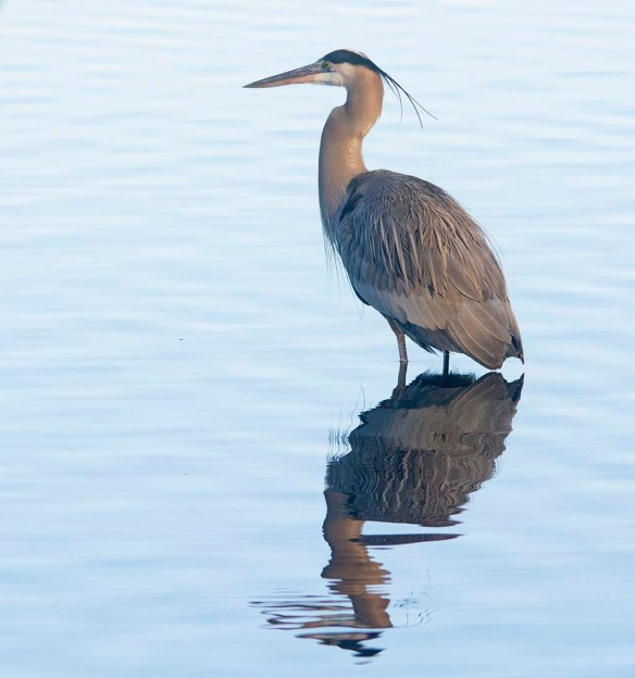 Great Blue Heron 2020-2