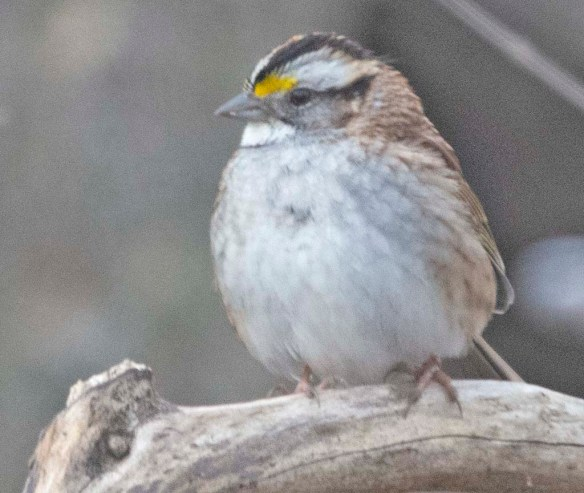 White Throated Sparrow 2020-1