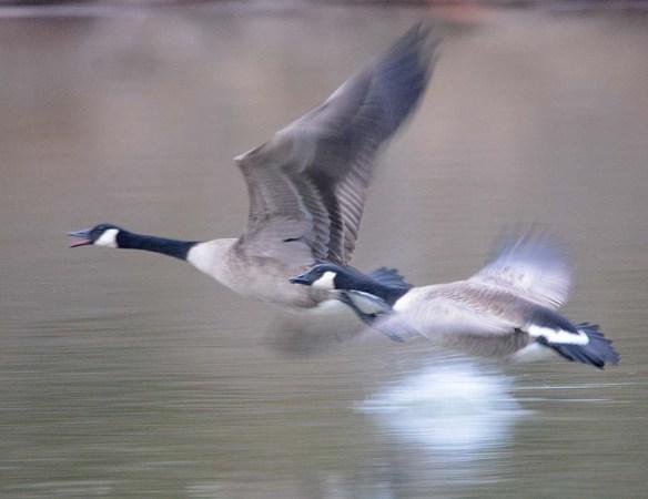 Canada Goose 2020-14