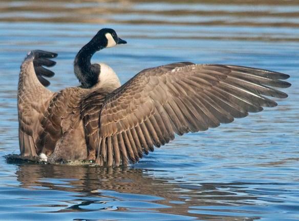 Canada Goose 2020-18