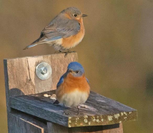 Eastern Bluebird 2020-2