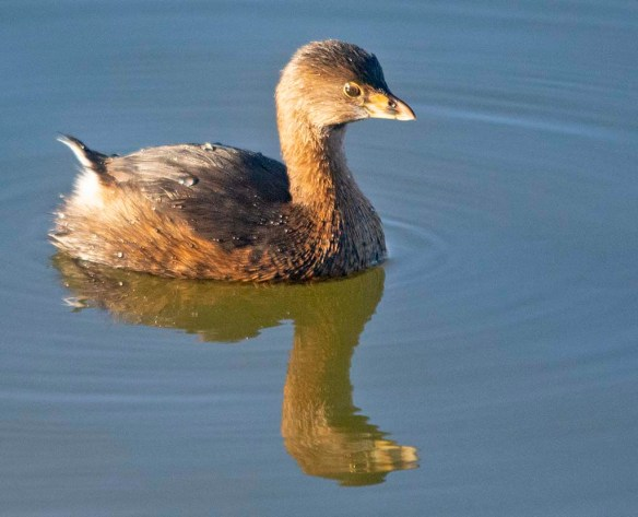 Pied Billed Grebe 2020-7