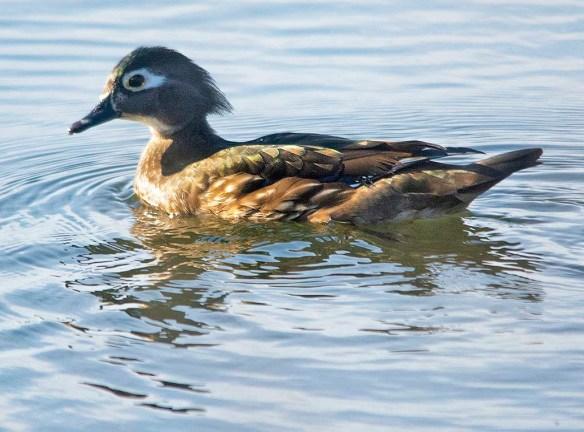 Wood Duck 2020-9