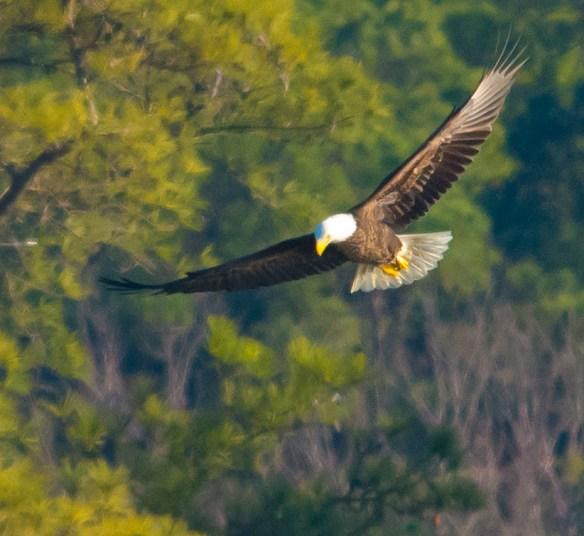 Bald Eagle 2016-4